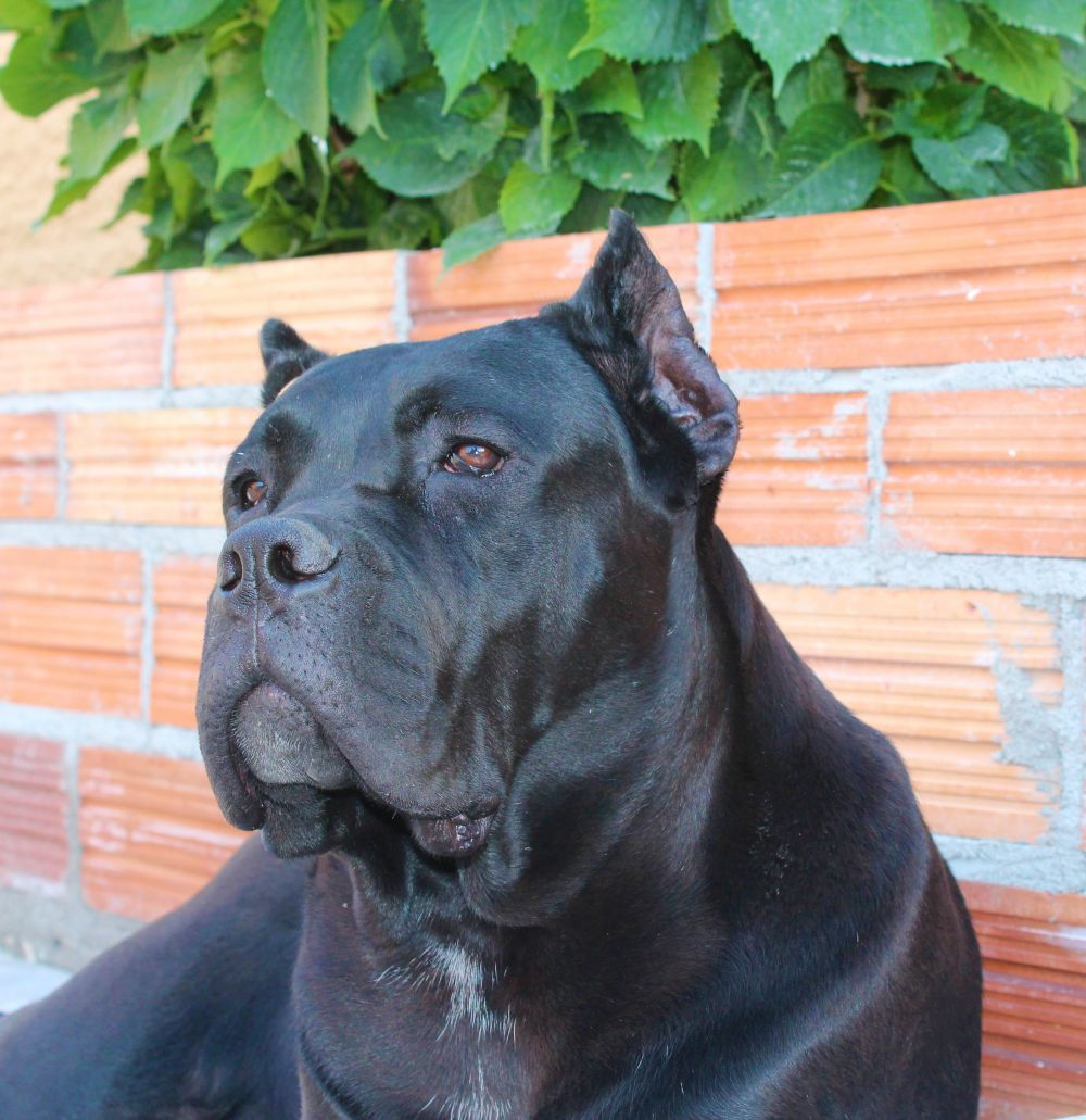 CHEMICAL EXPLOSION - Alice's Can Cane Corso